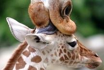 giraffes / by Maggie Cruz
