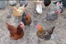 Chickens / Homestead chickens, urban chickens