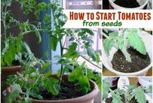Growing Tomatoes / All about growing tomatoes