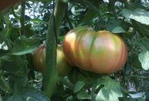 Nuestro Tomate Rosa / Tomate rosa del Bajo Aragón ebroVerde