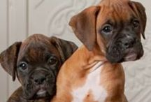 Boxers / Boxers dogs