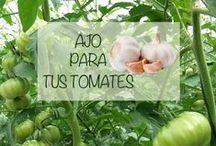 Nuestros consejos de cultivo / Consejos sobre cultivo de tomate