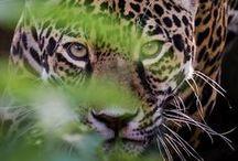 Tigres / #tigers #tiger #tigres #animaux