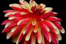 20 Dahlia Forms / This board shows several of the various forms of dahlias.There are currently 20 forms, 10 size classifications and 16 color classes. (Hope this helps identify which forms are your favorites.)