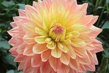 AAs, Giant Dahlias: Mixed Form / Dinner Plate/Giant Dahlias (classified as AA) are blooms that reach over 10 inches in diameter