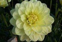 Waterlily Dahlias / The bloom of the Waterlily Dahlia should be fully double and symmetrical in shape. The side view of the bloom should be flat to saucer-shaped and the layer of florets should be open-faced to give a delicate appearance.