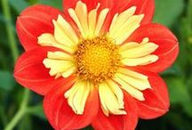 Collarette Dahlias / Collarettes have a single row of flat or slightly cupped ray florets in a flat plane.