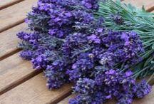 Bylinky / Odkazy na články a weby kde sa píše o bylinkách-ich účinkoch aj využití,taktiež recepty kde sa využívajú bylinky.