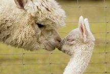 Llamas n' alpacas / Beautiful pictures (and occasionally drawings) of llamas and alpacas.