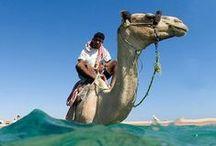 Camellos!