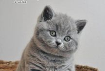 Brittish Shorthair