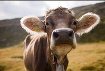 Kühe / Kühe gehören einfach zum Landleben dazu. Warum ihnen also nicht einen eigenen Ordner widmen