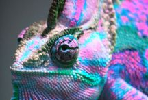 Chameleons / Changeing colours