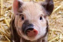 Schweine / Schweinewohl sollen sich diese Tiere fühlen. Hier eine kleine Auswahl von großen und kleinen Schweinen :)