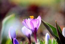 Krokusse / Die Freude steigt, wenn sich diese Frühlingsboten aus der Erde strecken