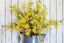 Forsythie / Frühblüher in kräftigem Gelb