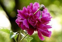 Pfingstrosen / Ob als Strauß in der Vase oder als Strauch im Garten – Pfingstrosen (Paeonia), auch Päonien genannt, zeigen sich in ihrer ganzen Pracht.