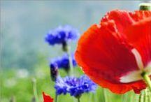 Kornblumen und Mohn / Bei sommerlichen Temperaturen sieht man auf den Feldern Kornblumen und Mohn. Gerade die Farbkombination aus dunklem Blau und sattem Rot machen die Blumen machen die Kornfelder besonders schön. Auf den Bildern können sich beide Blumen auch doppeln.