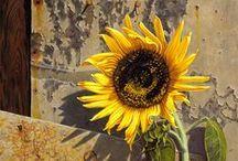 Sonnenblumen / Sommerfeeling: Sonnenblumen in all ihrer sommerlichen Pracht.