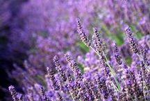 Lavendel-Pracht / Lavendel duftet herrlich und ist der Hauptdarsteller vieler kreativer Projekte.