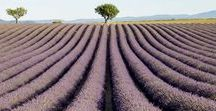 Lavender fields in Valensole / The flowering of lavender in Valensole, Provence, France - Open the photo link to get the full size photo
