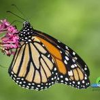 Tropical butterflies / Photos of tropical #butterfly #butterflies - #farfalle #tropicali - Open the photo link to get the full size photo