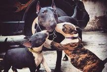 Bullterrier love♡