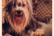 """""""Perfume"""" that is my name / Yorkshire Terrier from Thailand. Perfume (Num-Hom), Born on 19 oct 2011. Colour: Blue-Tan"""