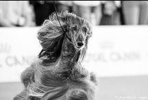 WOLRD DOG SHOW 2015 - Milan (I) / (Dogs/Sighthounds Photography) Afghan Hounds