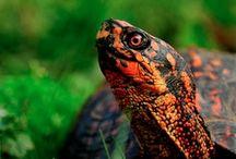 Turtles, Chelonia
