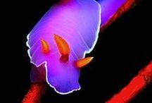 Nudibranch, Sea Slugs / #nudibranch #seaslug #marine #reef #biology