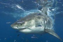 Sharks & Rays / #shark #ray #greatwhite #hammerhead #sharks #rays #mako #fish #marine #manta