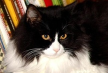 Ewan & Lovely / Ewan is my Norwegian Forrest Cat, it is over 12 years old, and my first baby. Lovely is my mutt of a little dog, is a little over 3 years old. They are my furry children, and I love them very very much. / by Noel 311