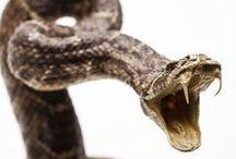 Beware of Rattlesnakes!