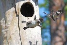 Linnut / Hauska seurata luonnossa ja kuvissa.