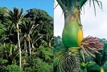 Nikau / Coastal tree