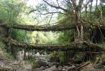 Living Bridges