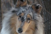 Dogs Collies