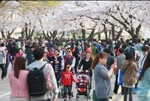 2013 한강여의도 봄꽃축제
