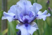 KWIATY- IRYS /flowers- iris/
