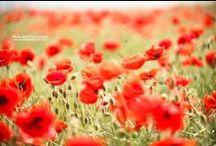 。기분 좋은.° / 양귀비(poppy, poppy field) / by Her... simple