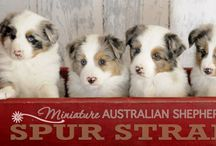 Australian  sheperd,  border collie e bernesi