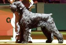 Dog shows: Crufts Winners (BC & BIS) / Crufts is a international canine event held annually in UK. There was about 2 000 dogs and 2 500 visitors in first Crufts dog show in 1981.  Event has grown way much bigger since the beginning: now there's ~28 000 dogs and ~160 000 visitors every year.  Crufts is been held annually; except 1940-1947 due to World War II + years 1949 & 1954.  Main event of the Crufts-weekend is selection of Best In Show (BIS). Winner of the whole show was named Best Champion (BC) from 1905 to 1914.