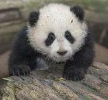 Panda-monium / Watch our Panda Cam, streaming live from the Gengda Wolong Panda Center in China: explore.org/pandas