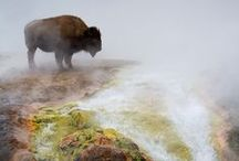 Bison / Bison are the largest indigenous land mammal in North America. See them on our live cam at explore.org/bison