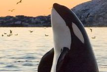 Orca Cam / Watch majestic orca whales swim, play, and breach on our brand new live cam at explore.org/orcas