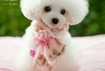 Poodles ❤️❤️❤️❤️ / Fluffy ❤️❤️