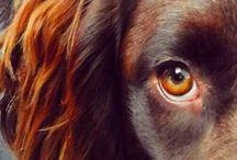 Zoe. Springer Spaniel Inglese / English Springer Spaniel