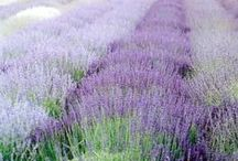 LAVENDER Field & Meadow / the beauty and wonder of Lavender