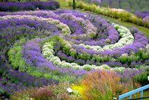 LAVENDER Landscape / the beauty and fragrance of lavender
